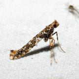 0637 - Cherry Leafcone Roller - Caloptilia serotinella