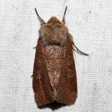 10563 - Ruddy Quaker - Protorthodes oviduca