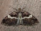 7329 – Variable Carpet Moth – Anticlea vasiliata