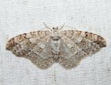 7428 – Brown-shaded Carpet Moth – Venusia comptaria
