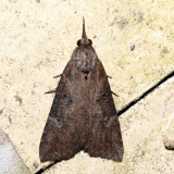 8461 - Hop Vine Moth - Hypena humuli