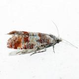 2868 – Pitch Pine Tip Moth – Rhyacionia rigidana