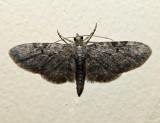 7537.1 - Eupithecia sharronata (male)