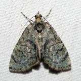 7239 – Sharp Green Hydriomena – Hydriomena pluviata