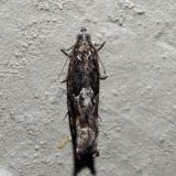 3263 - Pecan Bud Moth - Gretchena bolliana
