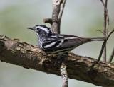 Black and White Warbler - Mniotilta varia