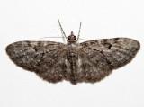 7491 - Eupithecia fletcherata (female)