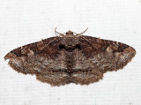 8698 – Zale phaeocapna