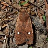 9933 – Straight-Toothed Sallow – Eupsilia vinulenta
