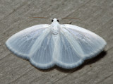 6667 - White Spring Moth - Lomographa vestaliata