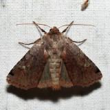 10997 - Cerastis fishii