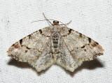 6348 – Hemlock Angle Moth – Macaria fissinotata