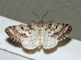 Powder Moth - Eufidonia sp.