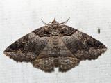 8713 – Bold-based Zale Moth – Zale lunifera