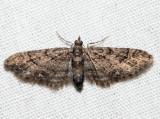 7459 - Eupithecia columbiata (female)