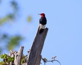 Red-headed Woodpecker - Melanerpes erythrocephalus