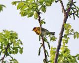 Cape May Warbler - Setophaga tigrina