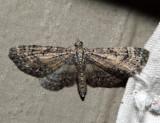 7449 - Small Pine Looper - Eupithecia palpata (male)