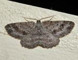 6620 – Canadian Melanolophia – Melanolophia canadaria