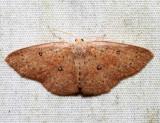 7136 - Packard's Wave Moth - Cyclophora packardi