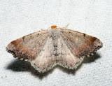 6340 – Minor Angle – Macaria minorata
