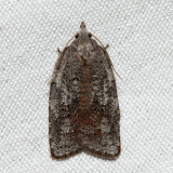 3748 - White-lined Leafroller - Amorbia humerosana