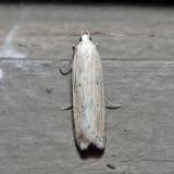 2267 – Fernald's Helcystogramma Moth – Helcystogramma fernaldella