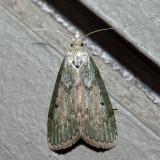 5629 - Bee Moth - Aphomia sociella (female)