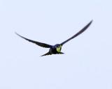Purple Martin - Progne subis (carrying nesting material)
