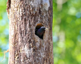 European Starling - Sturnus vulgaris (in nest cavity)