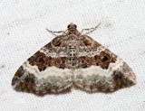 7394 – White-banded Toothed Carpet – Epirrhoe alternata