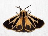 8171 – Nais Tiger Moth – Apantesis nais