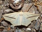 6963 – Yellow Slant-line – Tetracis crocallata