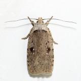 0889 – Agonopterix argillacea
