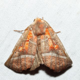 8555 - The Herald - Scoliopteryx libatrix