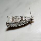 3334 – Maple Trumpet Skeletonizer – Catastega aceriella