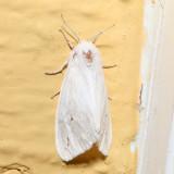 8133 - Pink-legged Tiger Moth - Spilosoma latipennis