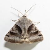 8738 – Clover Looper – Caenurgina crassiuscula