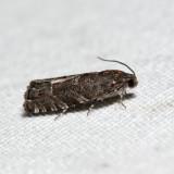 3471 - Hickory Shuckworm Moth - Cydia caryana