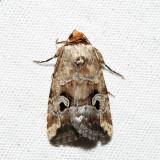 9681.1 - Pale-winged Midget - Elaphria alapallida