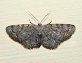 6570 - Four-Barred Gray - Aethalura intertexta