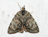 7237 - Transfigured Hydriomena - Hydriomena transfigurata (female)