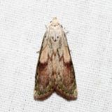 5629 - Bee Moth - Aphomia sociella (male)