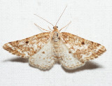 6637 - Pine Powder Moth - Eufidonia convergaria (female)