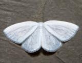 6678 – Vestal Moth – Cabera variolaria