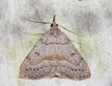 8355 – Morbid Owlet – Chytolita morbidalis