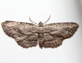 7445 - Brown Bark Carpet Moth - Horisme intestinata