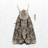 9238 - Great Oak Dagger - Acronicta lobeliae