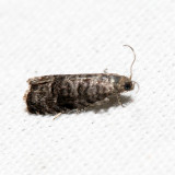 3428 - Cherry Fruitworm Moth - Grapholita packardi