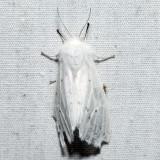 8134 – Agreeable Tiger Moth – Spilosoma congrua
